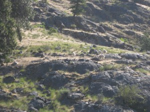 Catch of a glimpse of white mountain goats